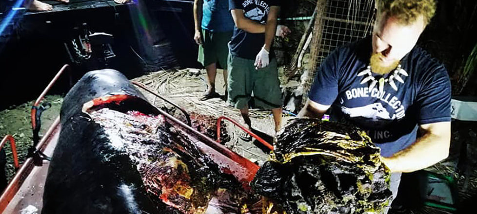 Stomach of dead whale full of plastic Philippines